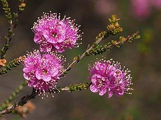 <i>Kunzea rostrata</i> Species of flowering plant