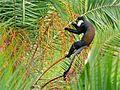 L'Hoest Monkey (Cercopithecus lhoesti) (7079214495).jpg