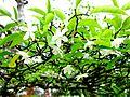 Lá và hoa mai chiếu thủy.jpg