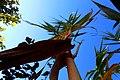 La escalera de hojas del cáñamo sube, y sube, y sube hasta el cielo - panoramio.jpg