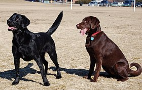 Labradores de color negro y chocolate.