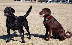 Labrador Retriever coat colour genetics - Labradors showing the two eumelanin colour phenotypes: Black (BB,Bb) and chocolate (bb).