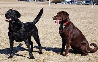 Labrador Retriever coat colour genetics - Labradors showing the two eumelanin colour phenotypes: Black (BB,Bb) and chocolate (bb).