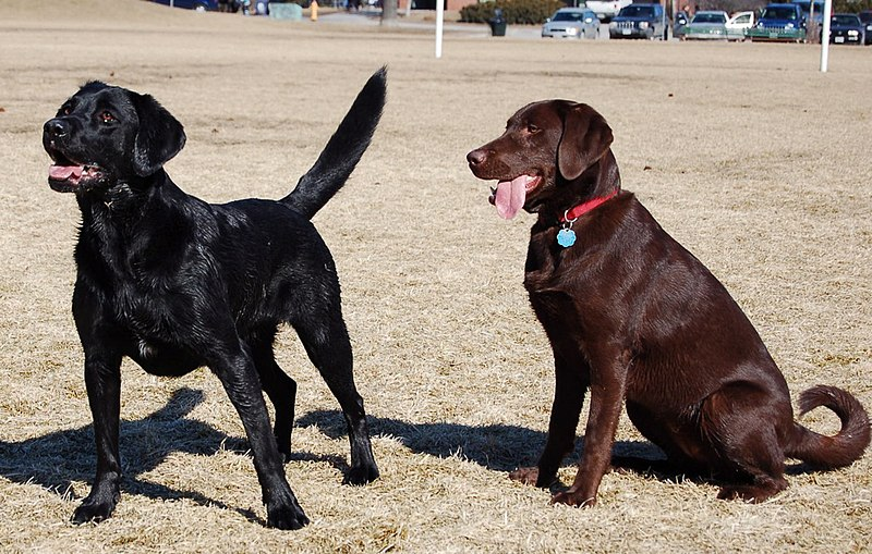 "The image ""http://upload.wikimedia.org/wikipedia/commons/thumb/2/2b/Labrador_Retrievers_blackandchocolate.jpg/800px-Labrador_Retrievers_blackandchocolate.jpg"" cannot be displayed, because it contains errors."