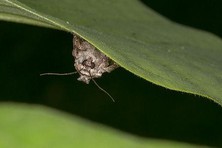 Lacanobia thalassina, Lodz(Poland)04(js).jpg