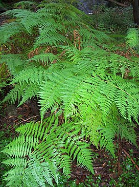 Lacy Fern Chatswood West.jpg
