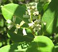 Laguncularia racemosa flowers.jpg