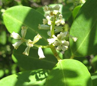 Laguncularia racemosa - Laguncularia racemosa flowers