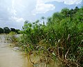 Lake Tana papyrus.jpg