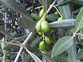 Lamiales - Olea europaea 1.jpg