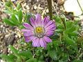 Lampranthus tenuifolius2.jpg