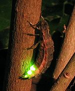 Different species of fireflies do not recognize each others' mating signals and, as a result, do not generally interbreed.