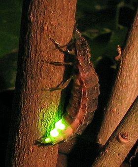 Lampyris noctiluca.jpg