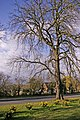 Large Horse Chestnut Tree between Cycle Track and Bramley Road, Enfield - geograph.org.uk - 735306.jpg