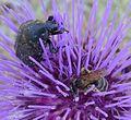 Lasioglossum species - Flickr - gailhampshire (3).jpg