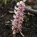 Lathraea squamaria LC0126 (cropped).jpg