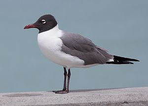 Laughing gull - Image: Laughing gull