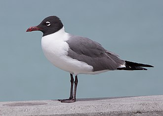 Laughing gull - Image: Laughing gull