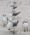 Laughing Gulls on sand.jpg