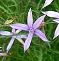 Laurentia axillaris 2.jpg