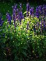 Lavendel in der Abendsonne Juli 2012 HD.JPG