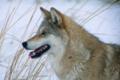 Le dernier loup - Les coulisses - les loups sur le tournage 1 (cropped).png