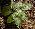 Leaf Clusters, Silver Bay (18701632850).jpg