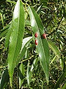 Leaf galls on crack willow - geograph.org.uk - 1449425.jpg
