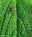 Leaf spider.jpg
