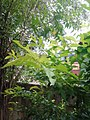 Leaves and trees palavangudi jpg 30.jpg