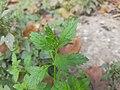 Leaves of Scoparia dulcis.jpg