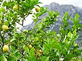 Lemon Tree with Mountain Backdrop - Soller - Mallorca - Spain (14512017732).jpg