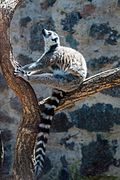 Lemur in Cherkasy zoo.jpg