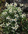 Leontopodium shinanense 05s Kisokoma.JPG