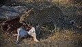 Leopard and kill (6264873700).jpg