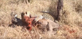 Leopard eats alive Warthog ✰Amaizing Video HD 9.png
