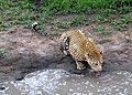 Leopards of Londolozi (6619593613).jpg