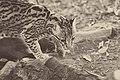 Leopardus pardalis I.jpg