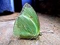 Lepdoptera - Nova Almeida ES.jpg