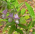Lepechinia fragrans 1.jpg