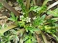 Lepidium squamatum sl9.jpg