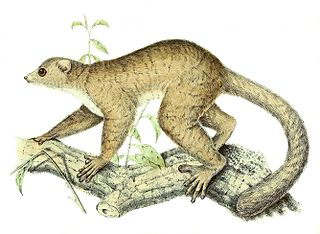 Weasel sportive lemur Species of lemur