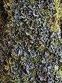 Leptogium cyanescens (Rabenh.) Körber 413711.jpg