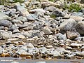 Lesser Sand Plover (Charadrius mongolus) (37056785191).jpg