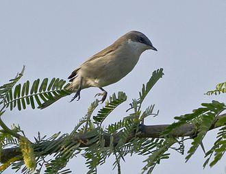 Lesser whitethroat - Lesser Whitethroat at Rajkot, Gujarat