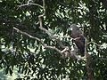 Lesser fishing eagle AparnaK.jpg