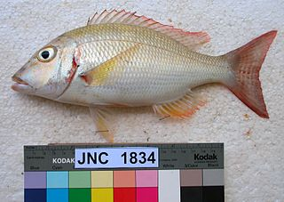 <i>Lethrinus lentjan</i> species of fish