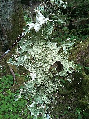 Hoh Rainforest - Lobaria oregana on the forest floor