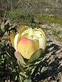 Leucadendron discolor 18663203.jpg