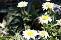 Leucanthemum x superbum Snowcap 1zz.jpg